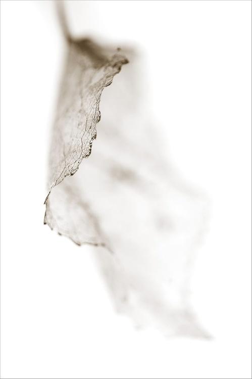 Leaf Skeleton 3 - Image 0