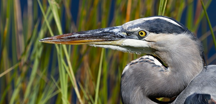 Great Blue Heron in the Everglades - Image 0