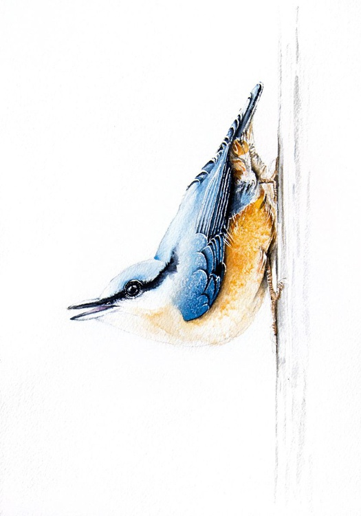 Nuthatch,  bird, birds, animals, wildlife watercolour painting - Image 0