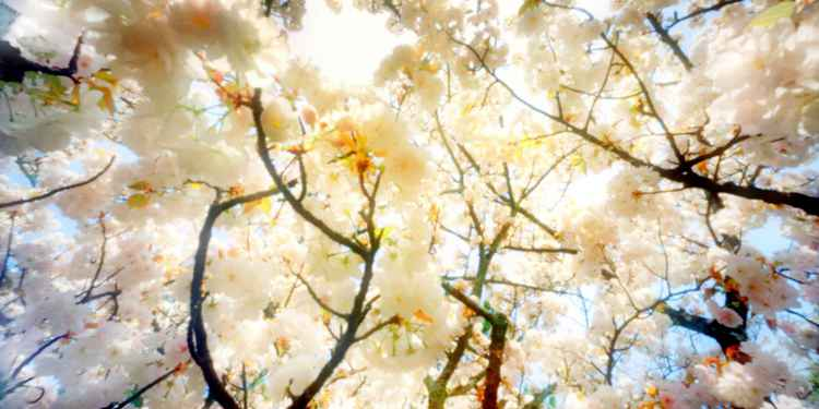 Spring Blossom White -