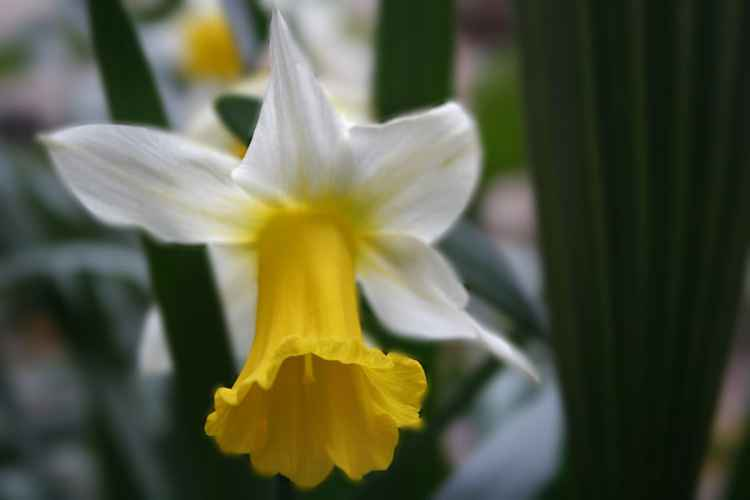Narcissus n 1