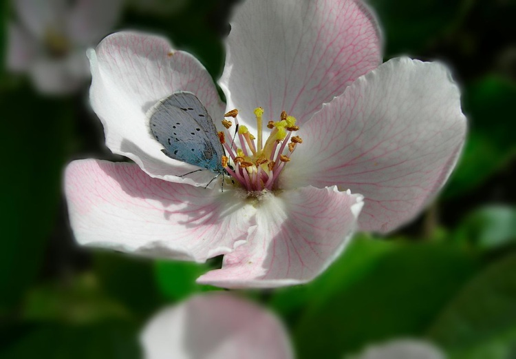 Little butterfly on Quince's flower - Image 0