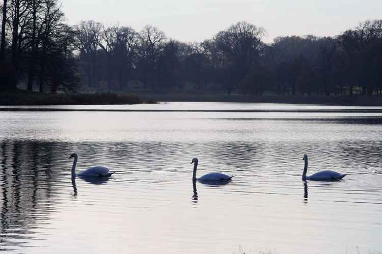 THE SERENITY OF SWANS