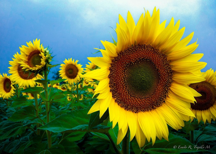 Touch the sunflower - Tuscany 2013 - Image 0