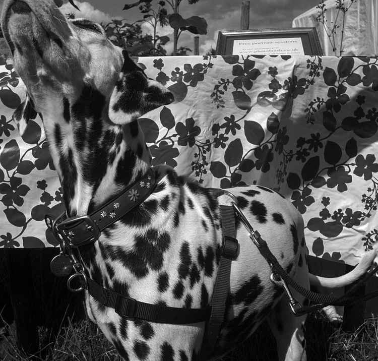 The Dalmatian Contagion -