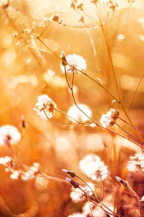 Orange Dandelions