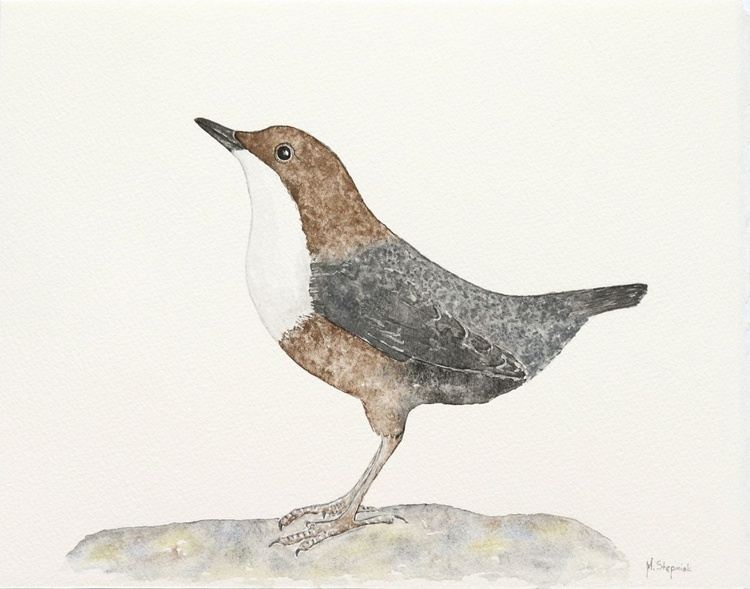 The white-throated dipper (Cinclus cinclus) - Image 0