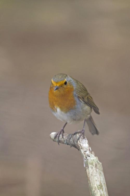 European Robin red Breast - Image 0