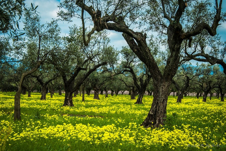 The spring adorns the olive trees - Image 0