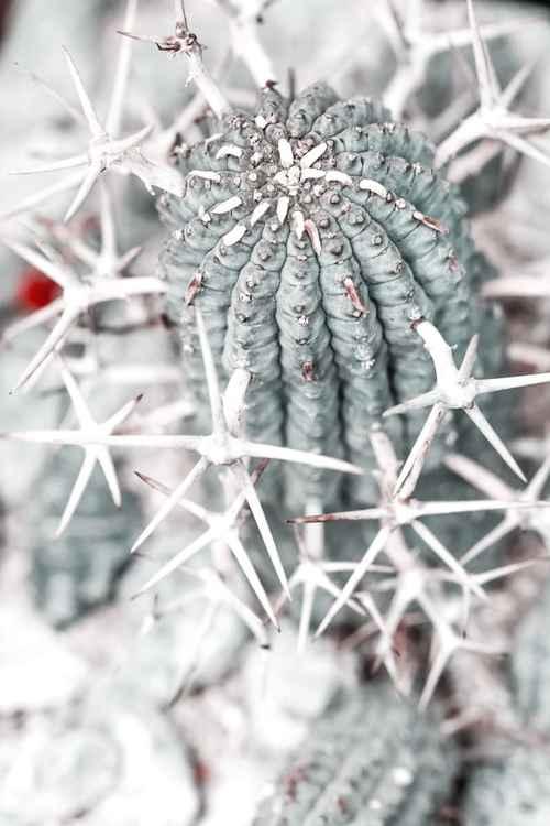 Сactus Star-bur