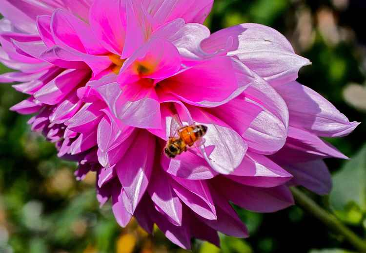 Bee and Dahlia Spirit. Charity Friends of the Earth