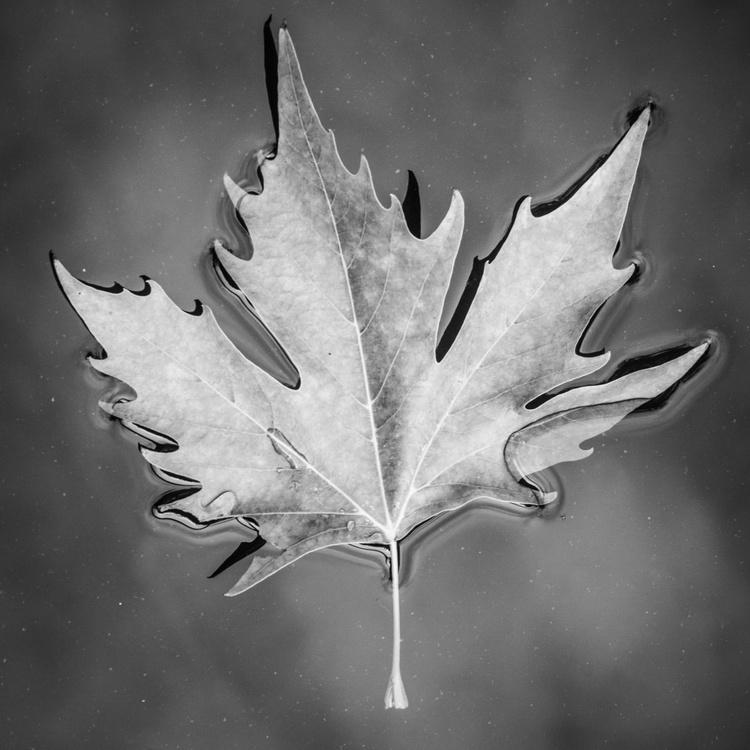 Maple Leaf - Image 0