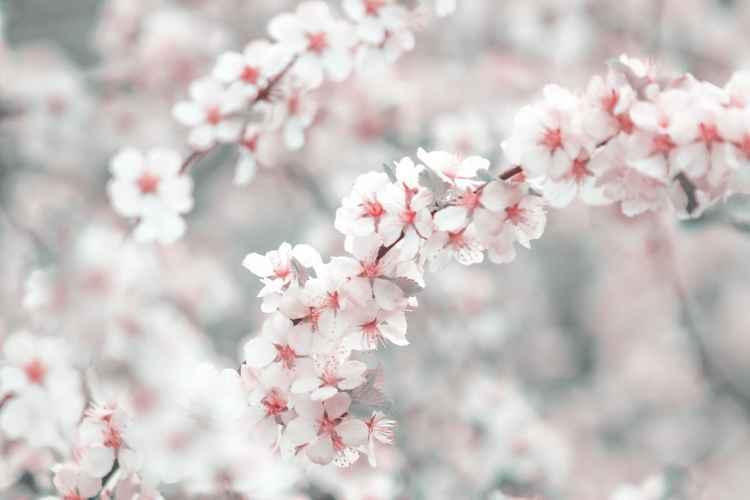Cherry Blossom III, 2015 -