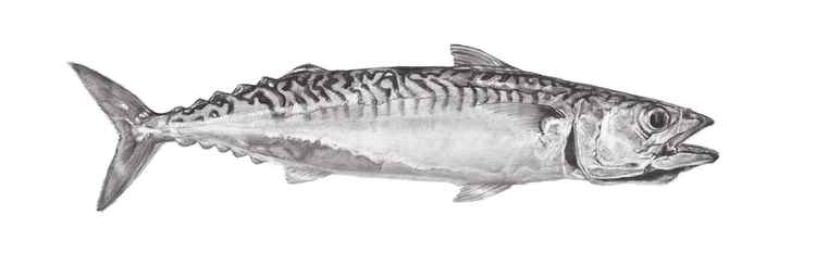 Mackerel #2 -