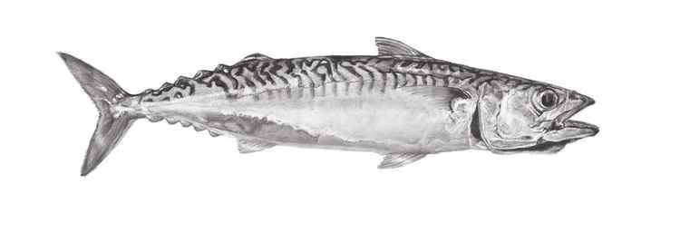 Mackerel #2