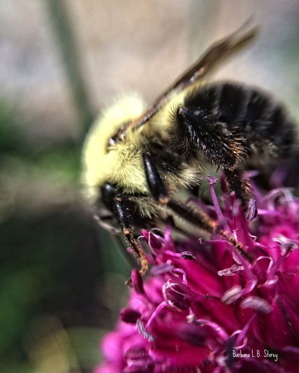 Bumble Bee in Summer - Image 0