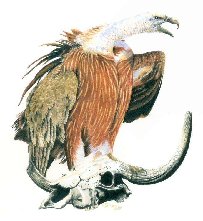 Griffon Vulture - Image 0
