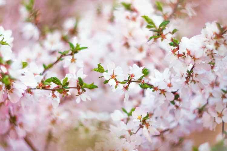 Cherry Blossom IV, 2016