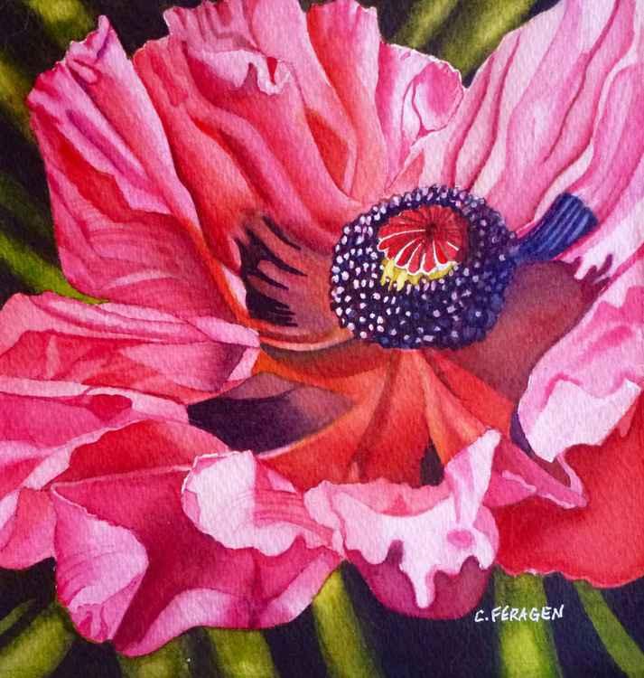 Pink Poppy -