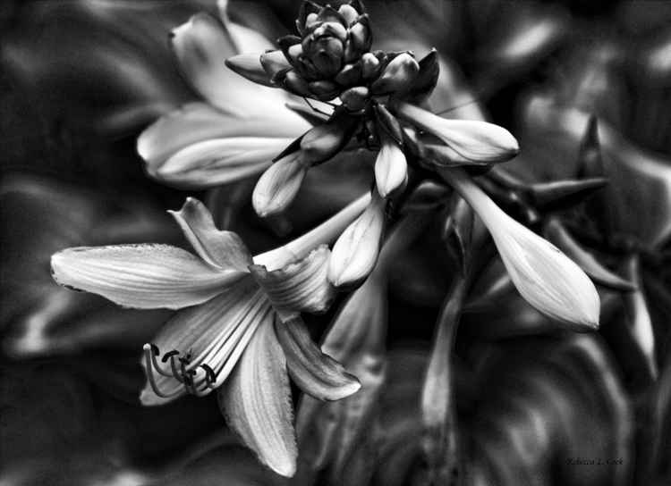 HOSTA LILIES BLACK AND WHITE