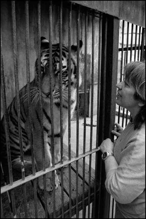 Ignored by a Tiger at Zoo Praha -