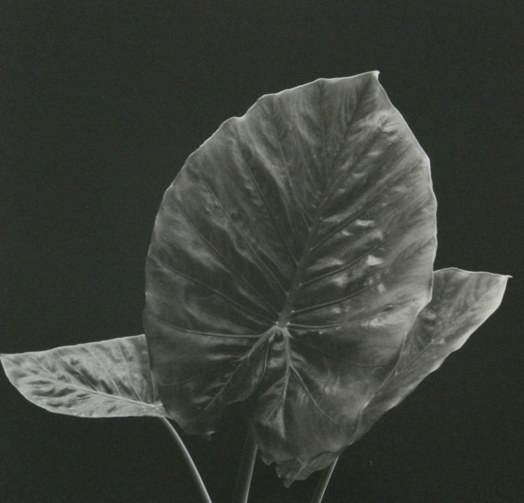 Three Leaves - Image 0