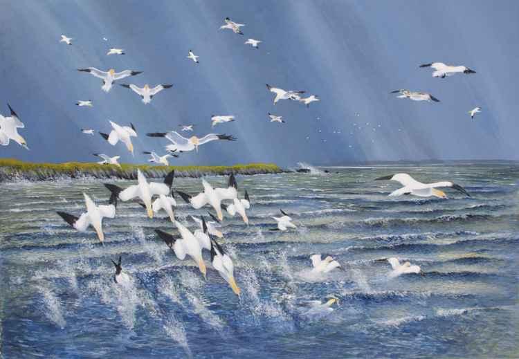 Gannet frenzy -