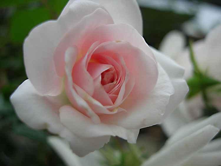 inside the rose -