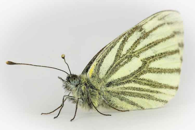 Green Veined White. -