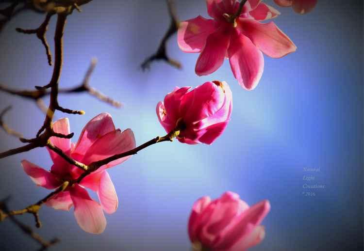 """"""" Spring Magnolia Flowers """" -"""