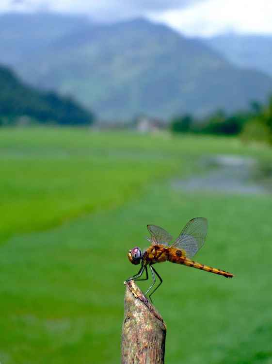 DRAGONFLY IN THE ANNAPURNA - POKHARA, NEPAL