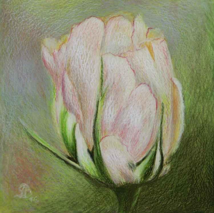 light pink tulipe