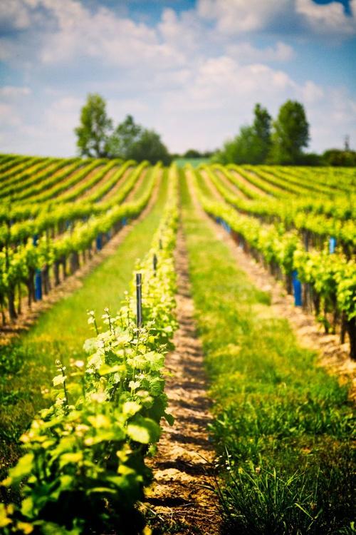 Tarn Vineyards No.2 - Image 0