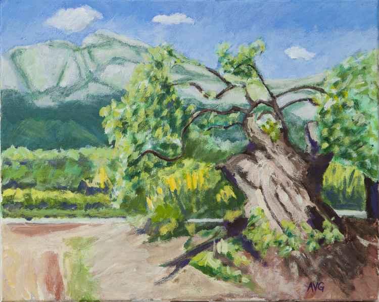 Old olive tree -