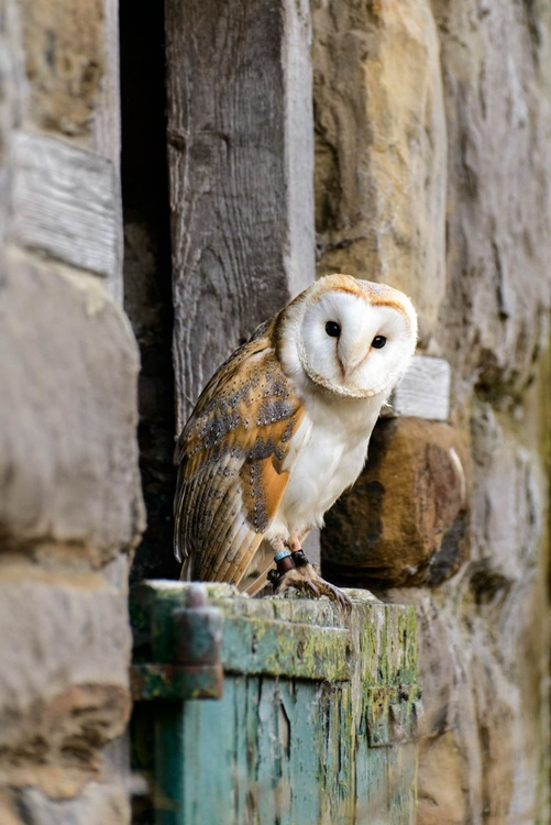 Barn Owl  - Limited Edition Print - Image 0