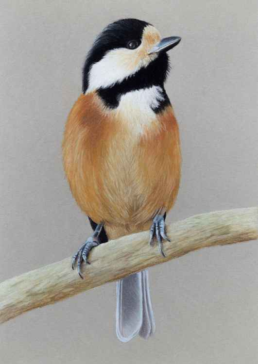 "Original pastel drawing ""Varied tit"""