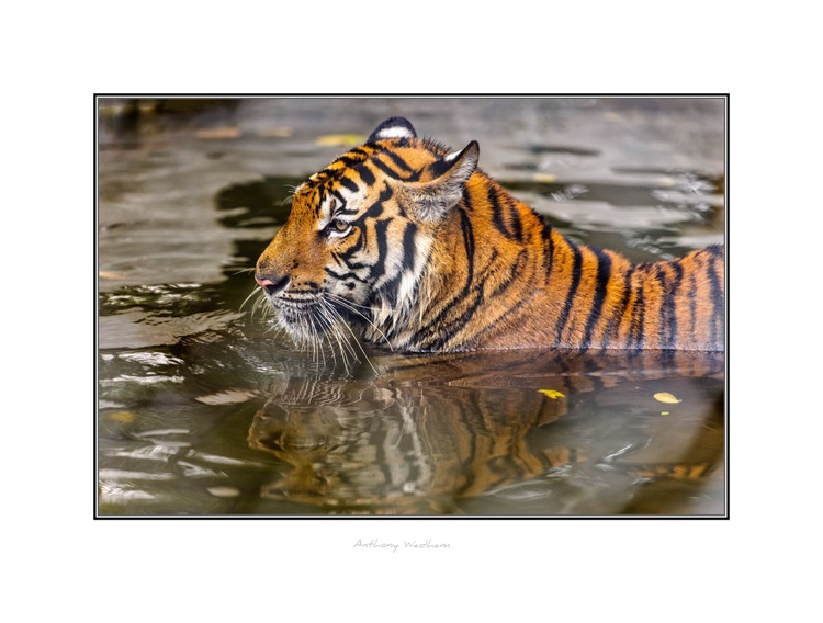 Tiger in Water - Image 0