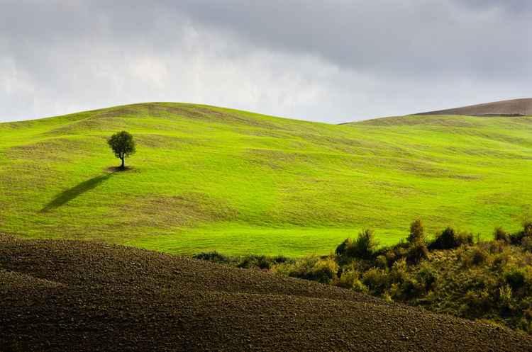 Lone Tree, Tuscany -