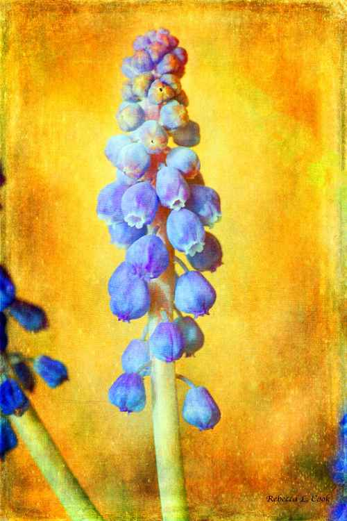 GRAPE HYACINTH -