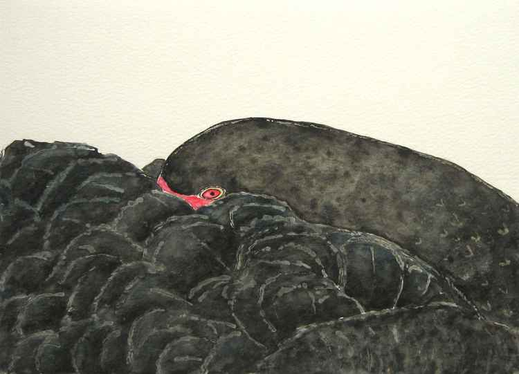 Black swan resting -