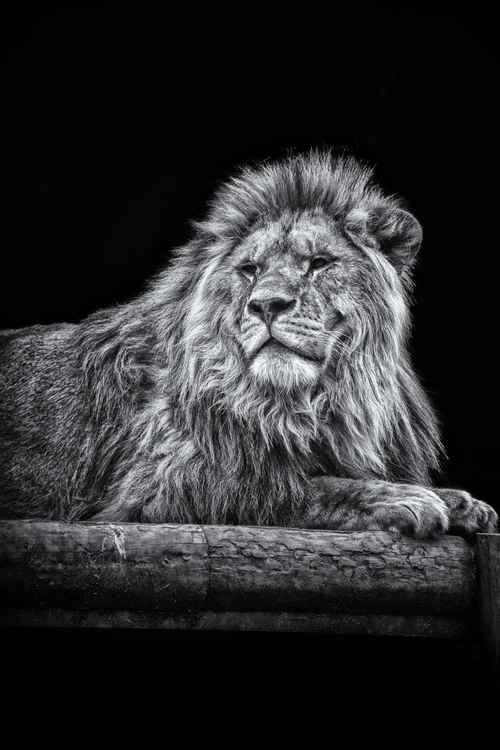Proud Lion -