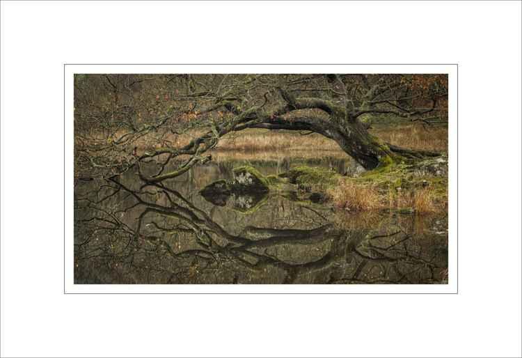 Rydal Tree -