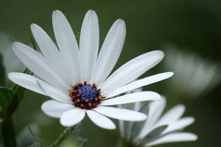 White daisy -