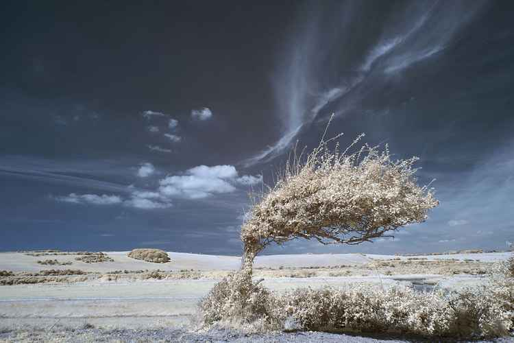 Bent tree #2, Cuckmere Haven -