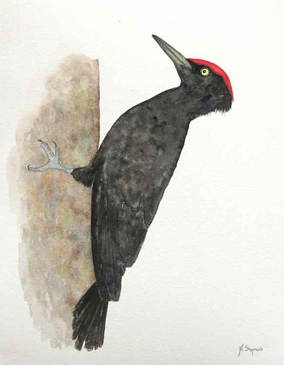 The black woodpecker (Dryocopus martius) -