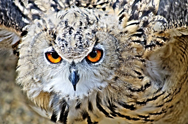 Owl Face - Image 0