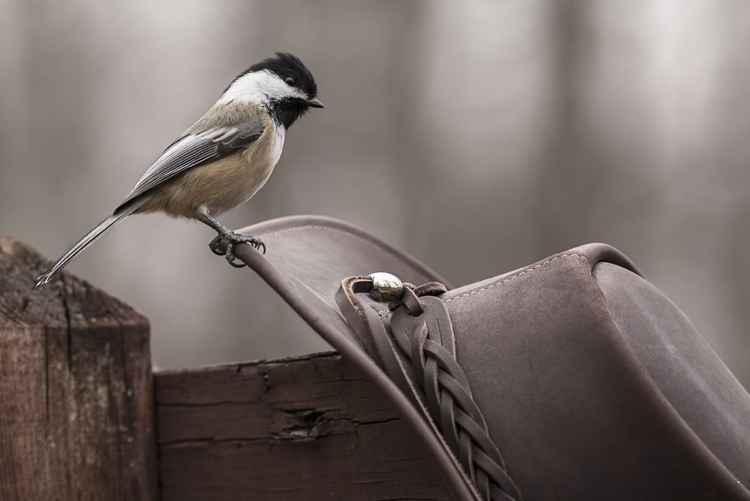 Howdy Chickadee -