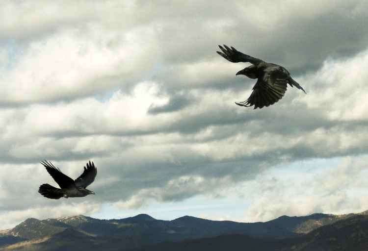 Two ravens flying -