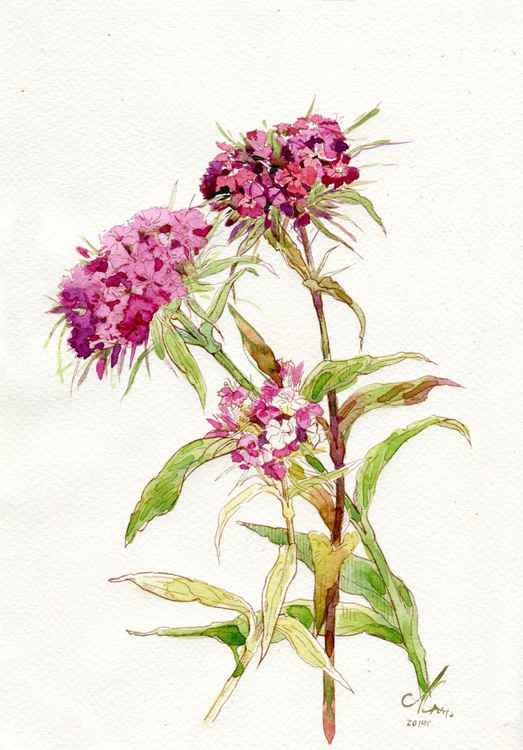 "Original watercolor ""Sweet-william"""