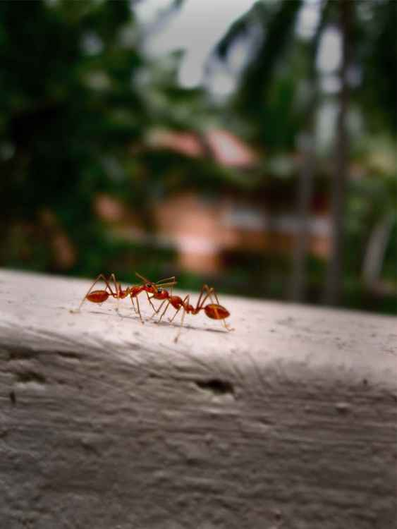 RED ANTS - INDIA